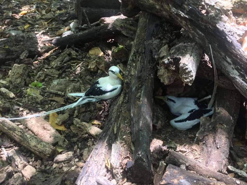 Cousin Island - Tropicbirds fighting on nests