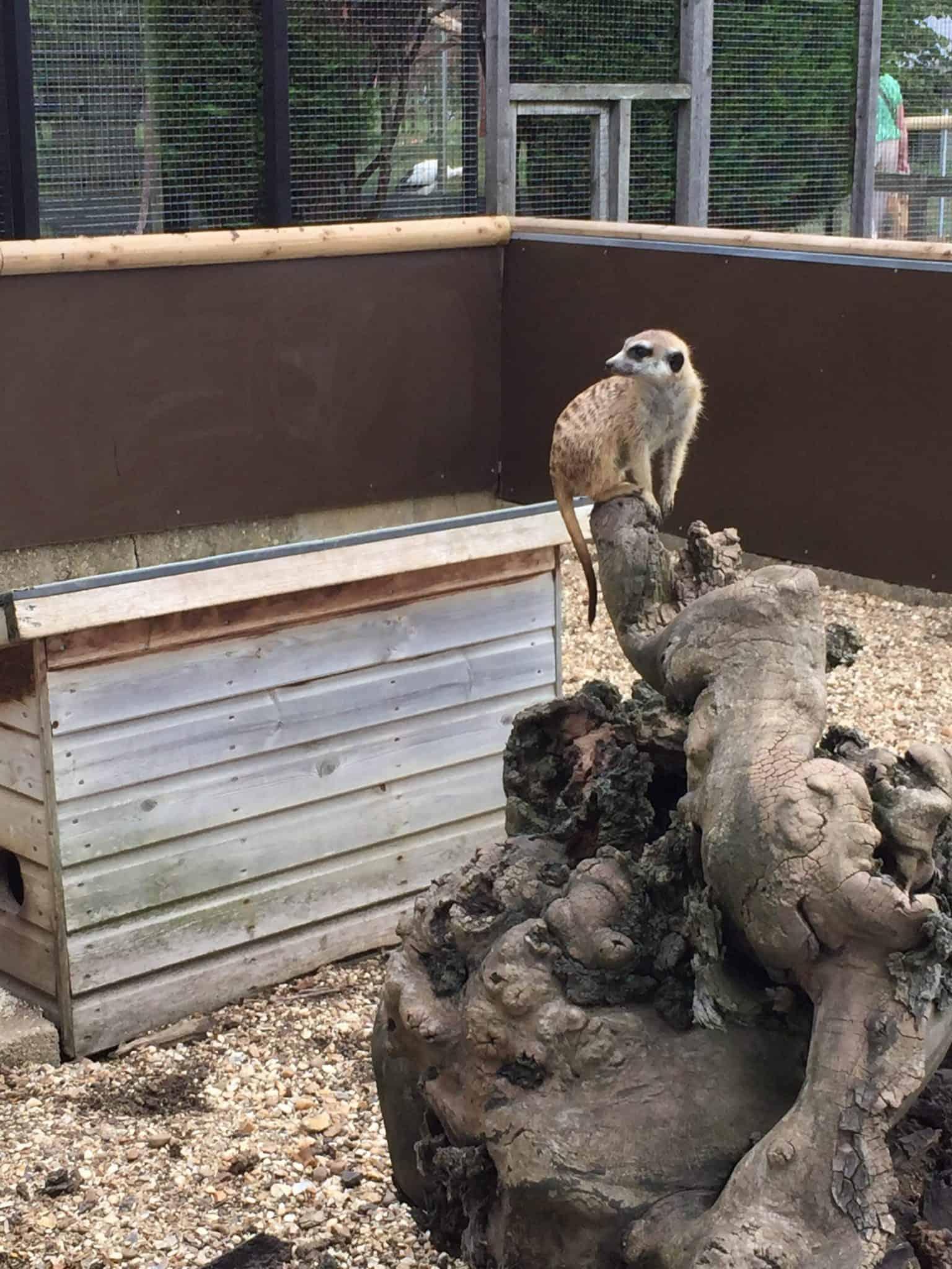 Hamerton Zoo Park – Meerkat