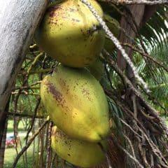 La Buse Restaurant – Coconuts!