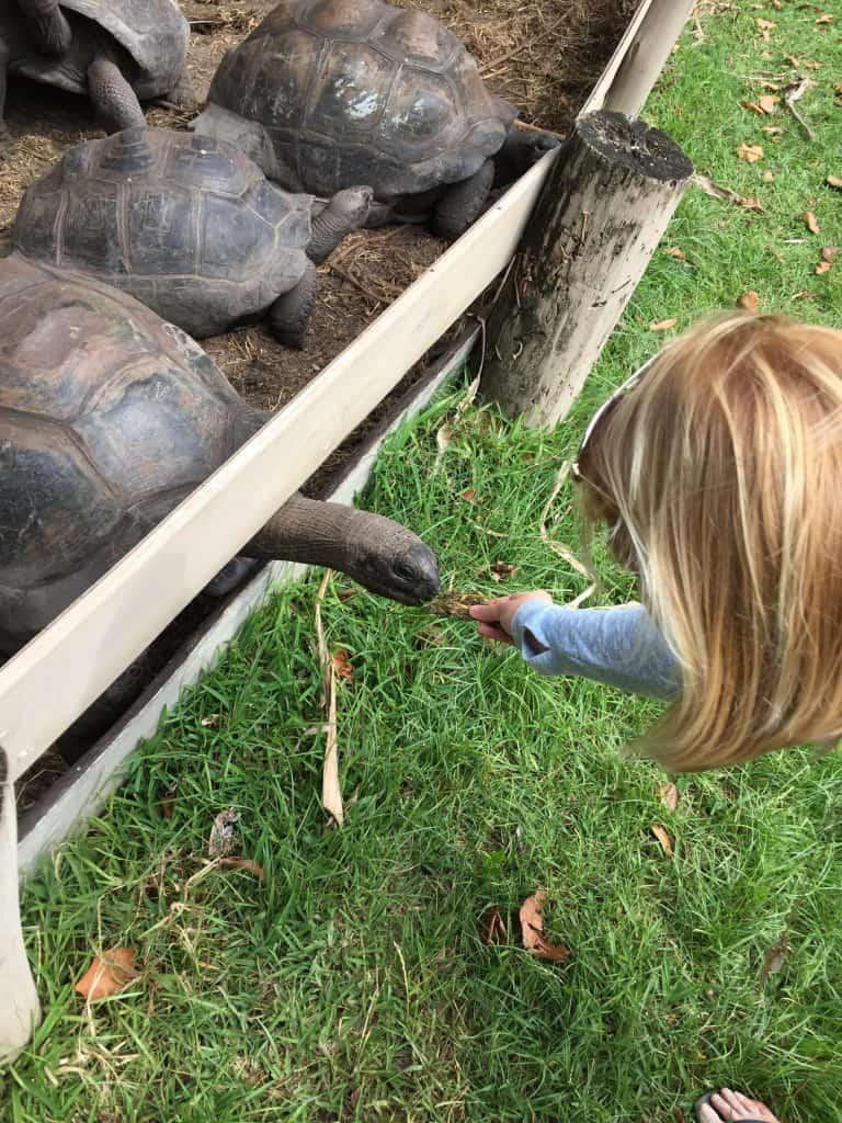 La Buse Restaurant - feeding the giant tortoises