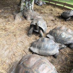 La Buse Restaurant – Giant Tortoises