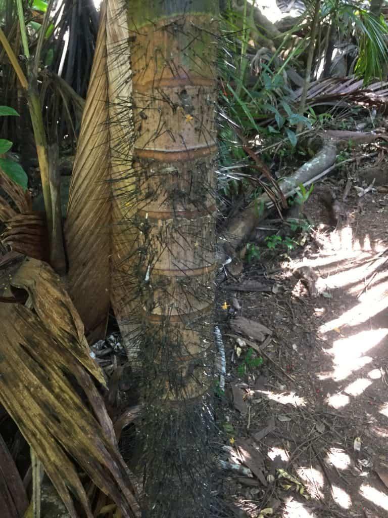 Praslin Waterfall - Black spiky trees!