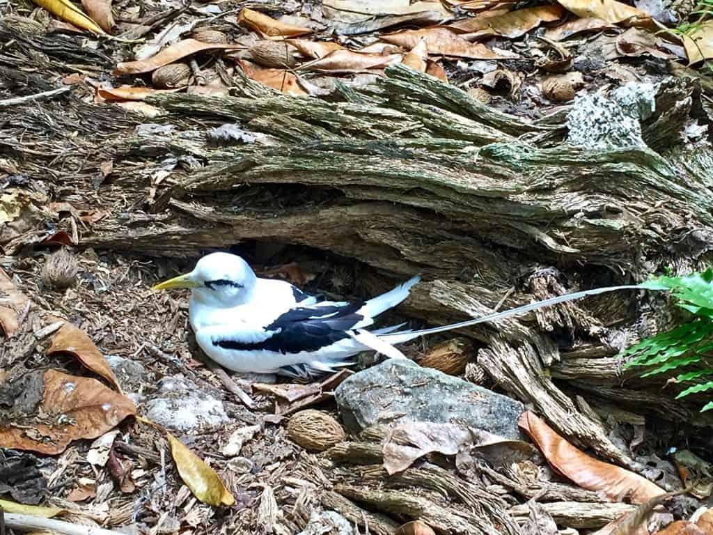 Cousin Island - Frigatebird