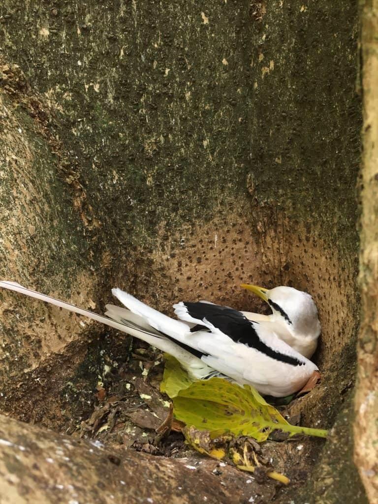 Cousin Island - Tropicbird