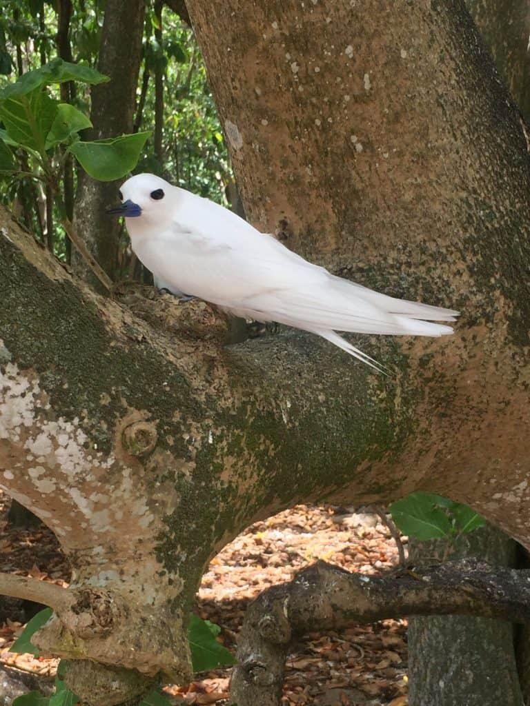 Cousin Island - Fairy Tern