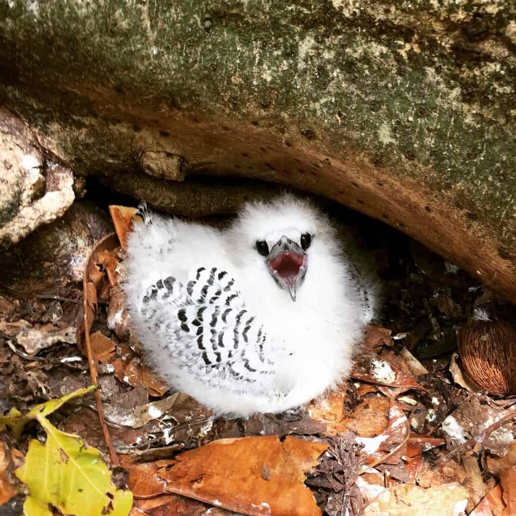 Cousin Island - Tropicbird Chick