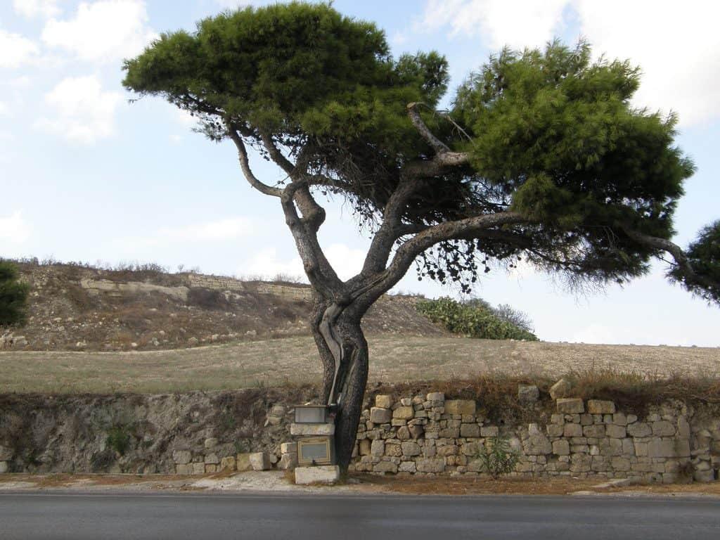 Jesus Tree of Mdina