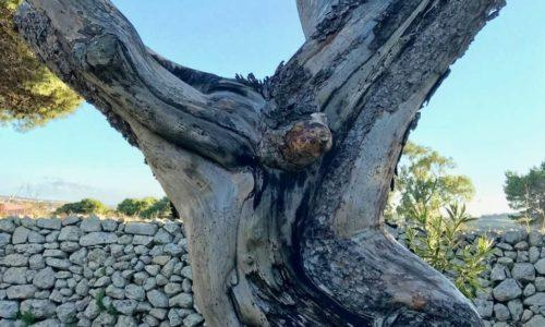 The Jesus Tree of Malta - Close Up