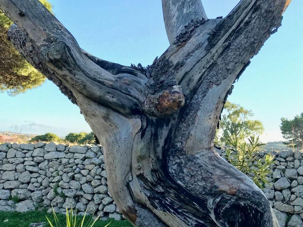 The Jesus Tree of Malta - Close Up