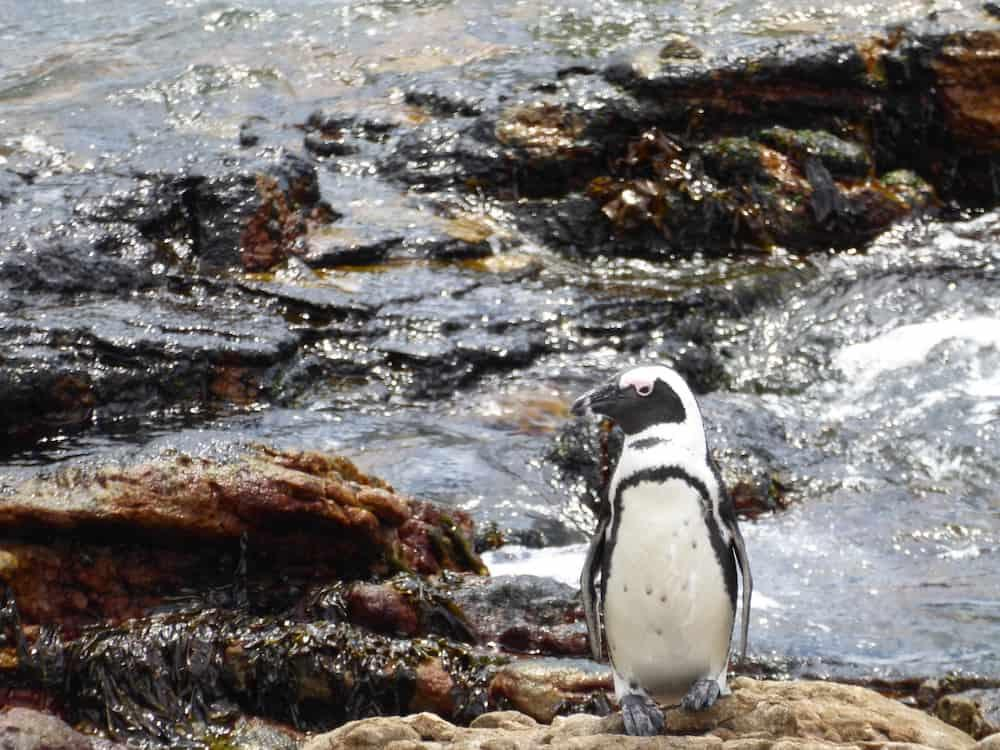 Stony Point Penguin