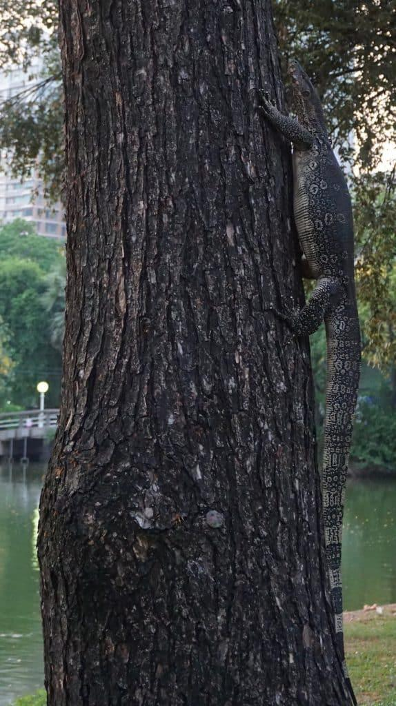 Lumphini Park - Monitor Lizard climbing tree
