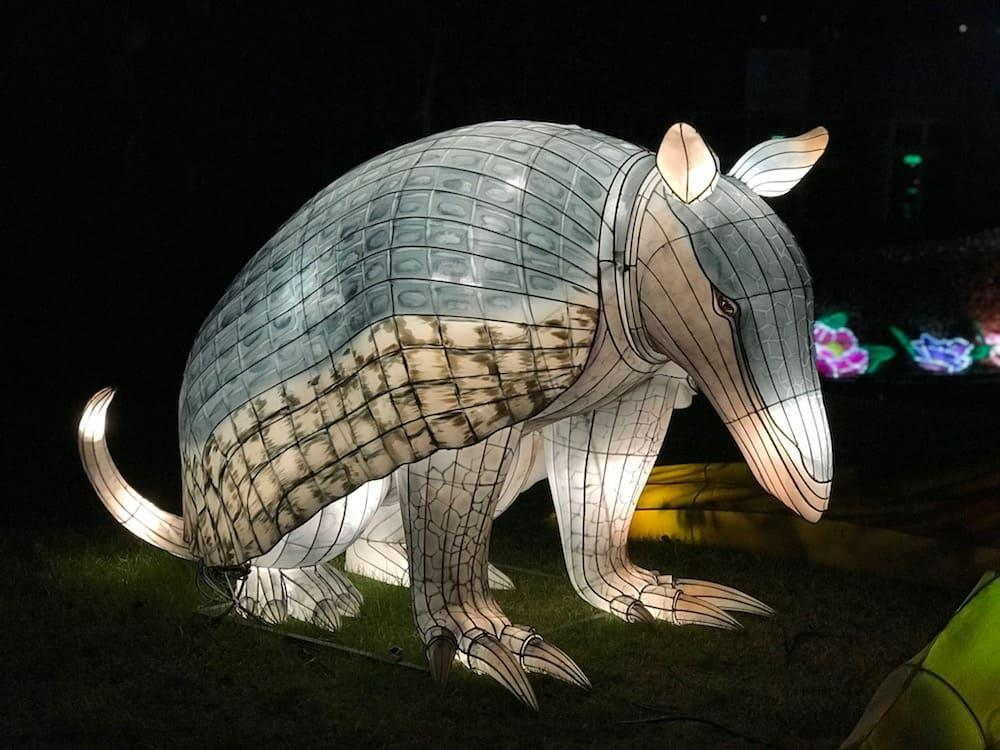 Giant Lanterns of China at Edinburgh Zoo - Armadillo
