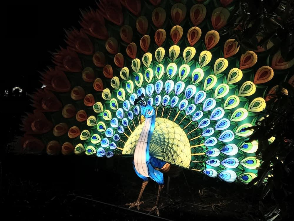 Giant Lanterns of China at Edinburgh Zoo - Peacock