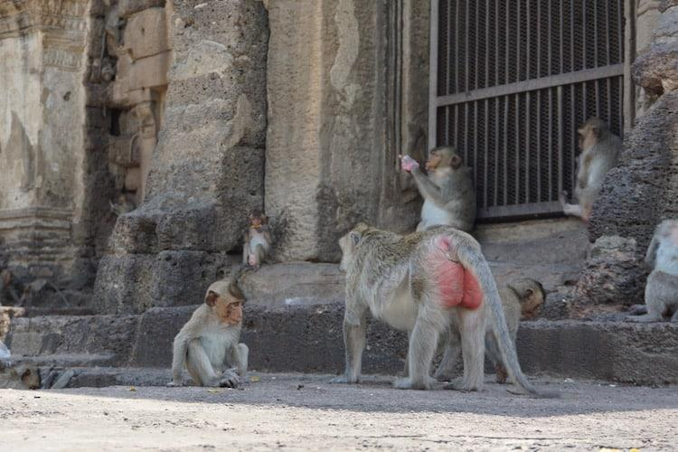Baby monkey with dad at Lopburi