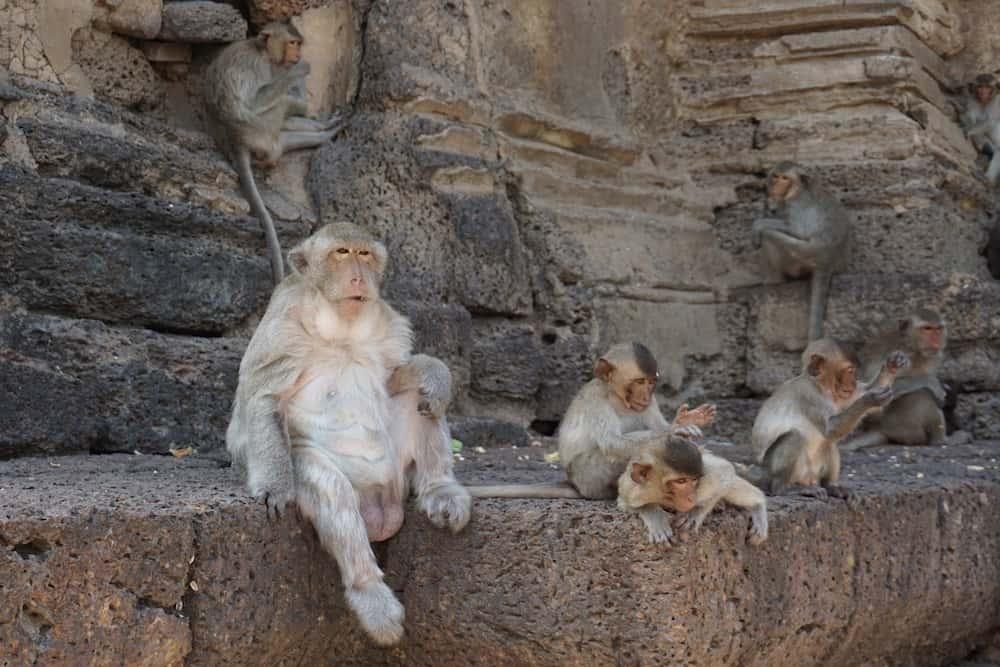 Monkeys on a wall at Lopburi in Thailand