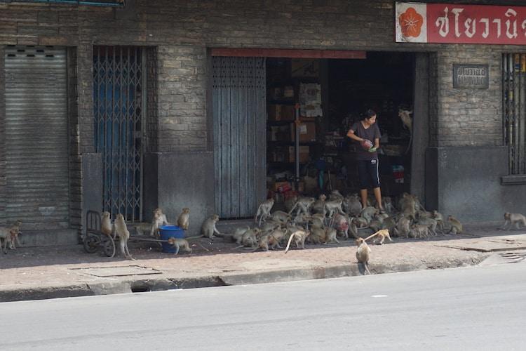 Feeding the monkeys, Lopburi