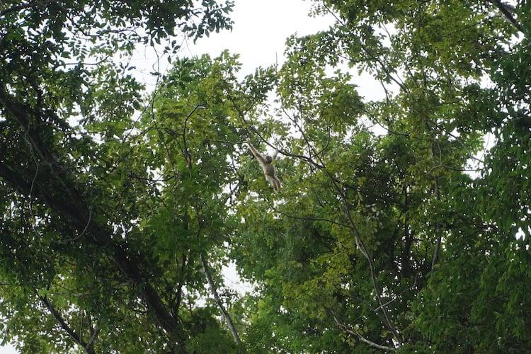 Gibbons seen with Greenleaf Tour