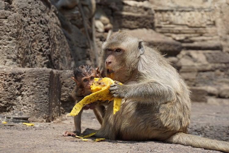 Monkeys at Phra Prang Sam Yod