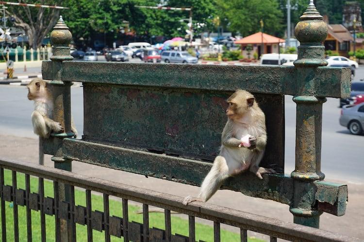 Monkeys on Sign, Lopburi