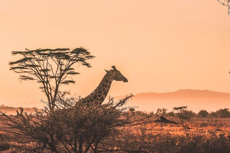 A giraffe from behind a tree with a sunset in the distance