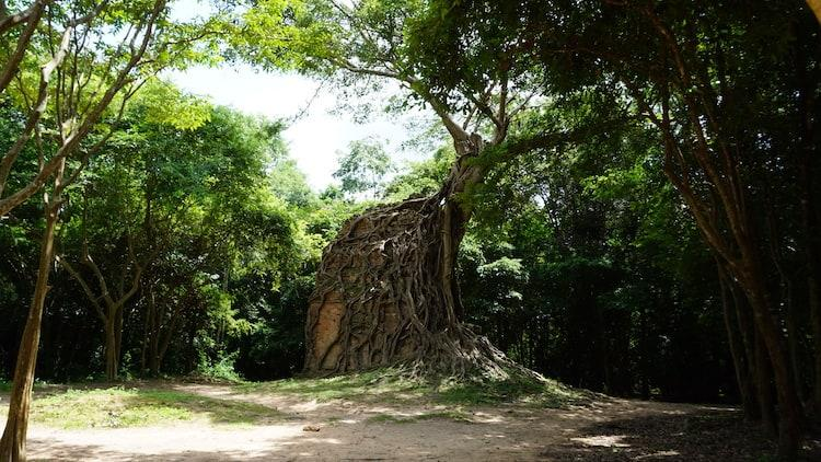 Temple swallowed by a tree at Sambor Prei Kuk