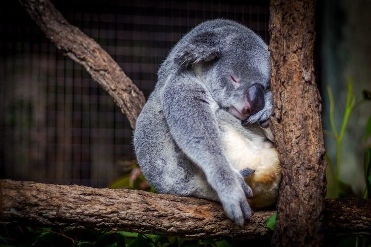 A koala sleeping his way through a sabbatical!