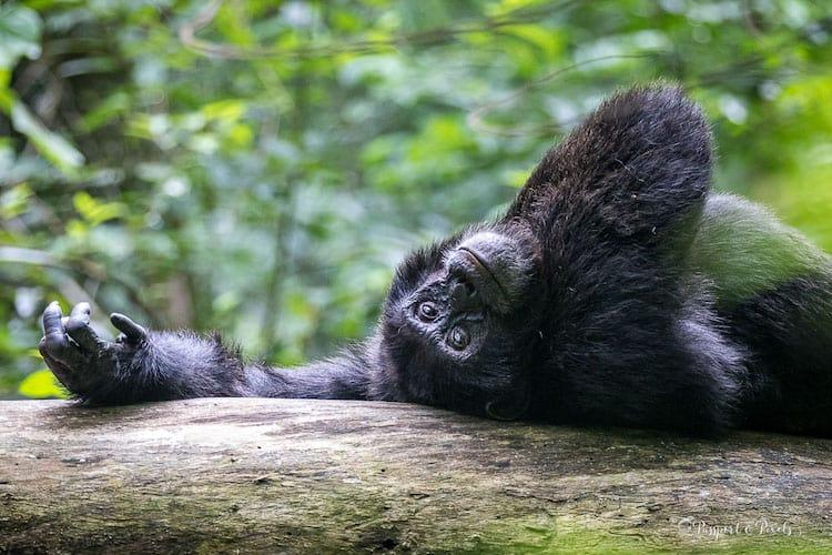 Chimpanzee lying down on a log with its arm outstretched