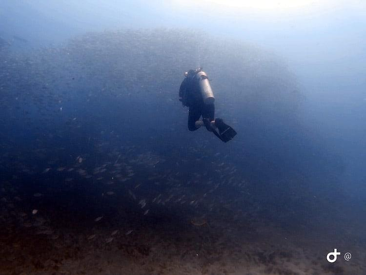 A woman diving towards a shoal of fish in murky blue waters