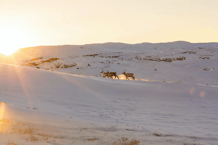 A hill covered in ice and snow, going at a steep angle from right to left. Three Caribou are in the middle of the frame heading towards the rising sun which is in the top left of the picture.