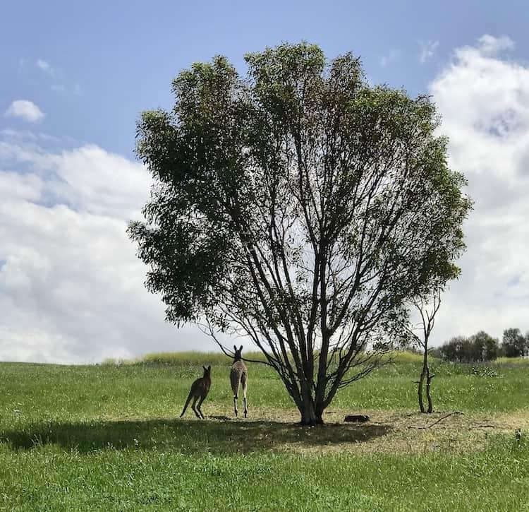 Two kangaroos hopping away from a tree