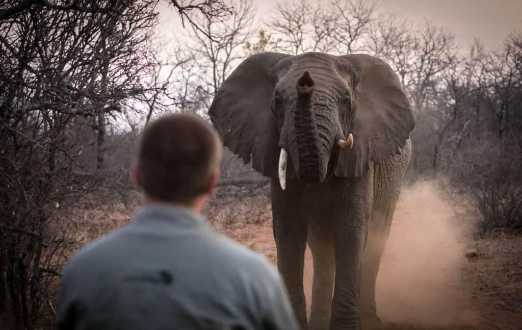 Elephant In Botswana On Field Guide Course