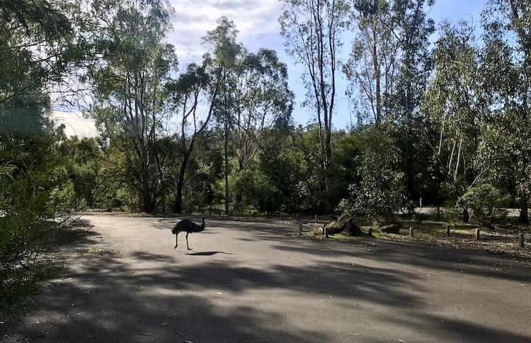 Zumsteins Picnic Area Emu