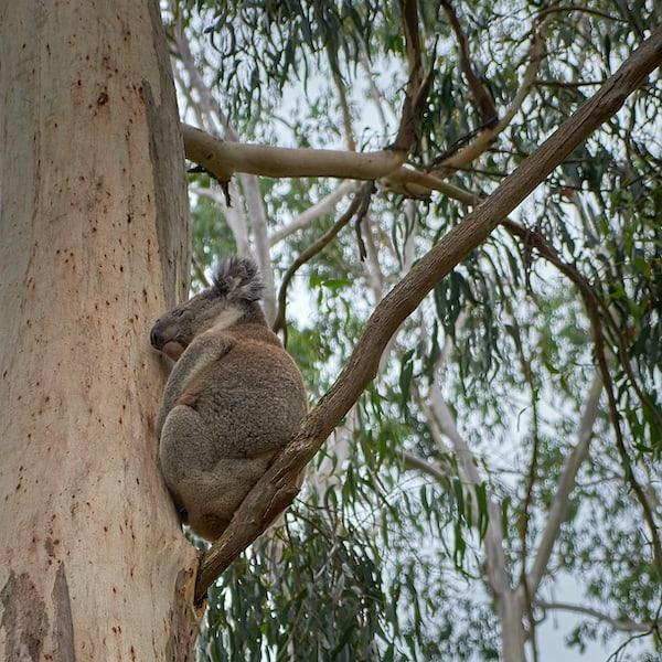 koala in tree at tower hill nature reserve