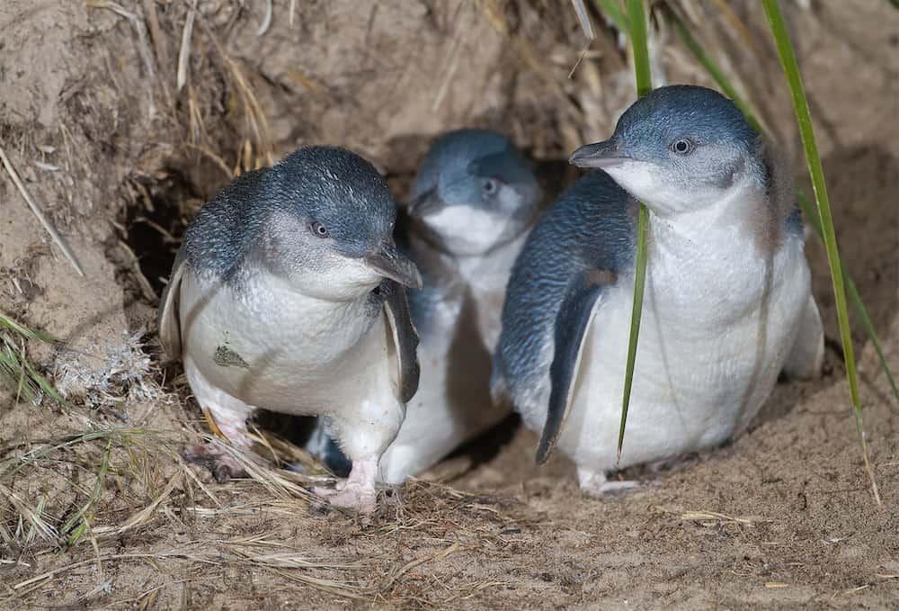 little penguins port fairy