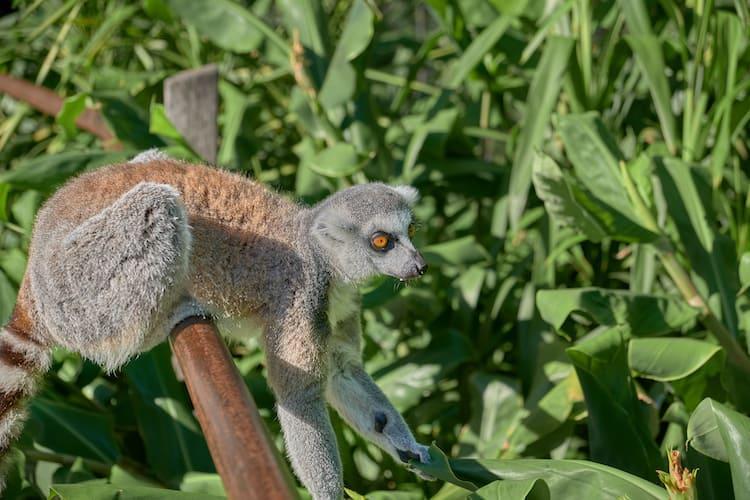 melbourne zoo lemur