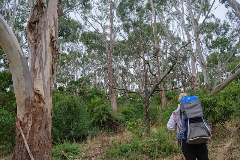 tower hill nature reserve koalas