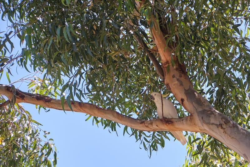 cockatoo serendip sanctuary