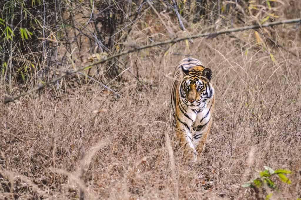 bengal tiger best safari locations in india