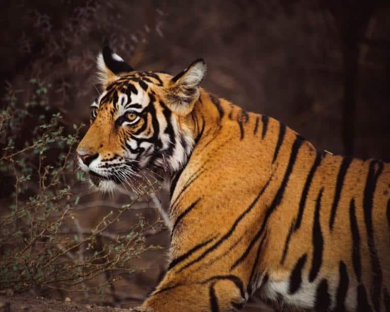 8 Best Safari Locations in India [+ Travel Tips]